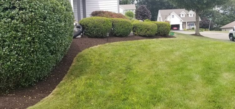 Well rounded shrubs in a landscape bed.
